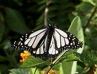 Monarch butterfly - White morph of the monarch in Hawaii called white monarch