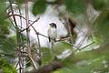 Alder Flycatcher (Empidonax alnorum) (4687326093).jpg