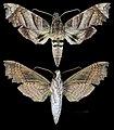Aleuron carinata MHNT CUT 2010 0 144 Guyane female.jpg