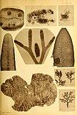 Alghe di Australia, Tasmania e Nuova Zelanda raccolte dal rev. dott. Giuseppe Capra nel 1908-1909 (1922) (17762401610).jpg