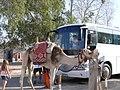Alig camel Egipt 193.jpg