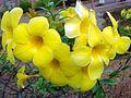 Allamanda cathartica flowers 2.JPG