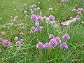 Allium schoenoprasum 2.jpg