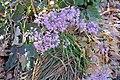 Allium thunbergii 'Ozawa'.jpg