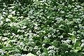 Allium ursinum-02 (xndr).jpg