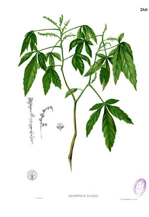 Allophylus - Allophylus cobbe