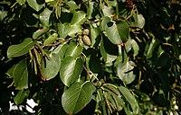 Alnus-cordata-leaves