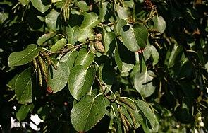 Alnus-cordata-leaves.JPG