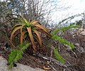 Aloe mawii - Mount Yoloko (10003417126).jpg