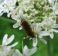 Alosterna tabacicolor. Cerambycidae - Flickr - gailhampshire.jpg