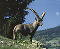 Alpen Wildpark Feld am See 04.jpg