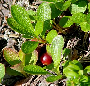 Alpine bearberry in Varrio Nature Reserve, Finland.jpg