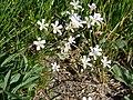 Alpine sandwort (85ac88a79c374a73a1f5aea6b95353f1).JPG