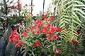Alstroemeria Sancho Red 3zz.jpg