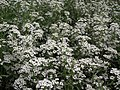 Alyssum or Lobularia maritima from Lalbagh flower show Aug 2013 8192.JPG