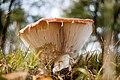 Amanita muscaria (8071959534).jpg