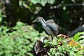 Amaurornis phoenicurus (2) - Siau Island.jpg
