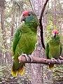 Amazona rhodocorytha -RSCF-4a.jpg