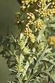 Ambrosia confertiflora 1448 Flowering branch Richard-Spellenberg.jpg