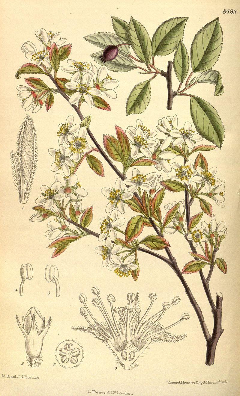 Amelanchier oligocarpa 139-8499.jpg