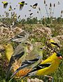 American Goldfinch from The Crossley ID Guide Eastern Birds.jpg