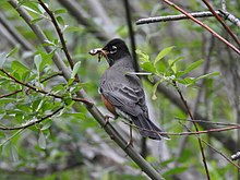 American robin - Wikipedia
