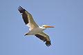 American White Pelican (Pelecanus erythrorhynchos) (14711213822).jpg