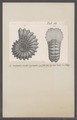 Ammonites monile aequinodus - - Print - Iconographia Zoologica - Special Collections University of Amsterdam - UBAINV0274 091 01 0080.tif