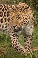 Amur Leopard (222632913).jpeg