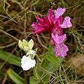 Anacamptis papilionacea - Flickr 003.jpg