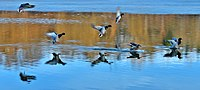 Anas platyrhynchos Topham Pond.jpg