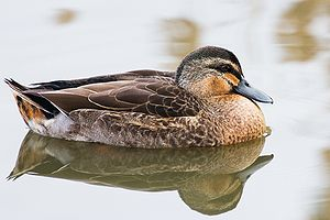 Pacific black duck - Image: Anas superciliosa