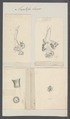 Anatifa laevis - - Print - Iconographia Zoologica - Special Collections University of Amsterdam - UBAINV0274 101 01 0016.tif