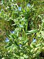 Anchusa arvensis sl11.jpg