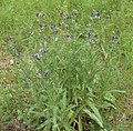 Anchusa officinalis plant (05).jpg