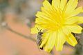Andrena aegyptiaca male 1.jpg