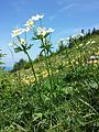 Anemonastrum narcissiflorum sl1.jpg