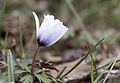 Anemone blanda - Dağlâlesi 04.jpg