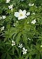 Anemone canadensis kz06.jpg