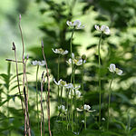Anemone virginiana 120620.jpg