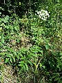 Angelica sylvestris subsp. sylvestris sl9.jpg