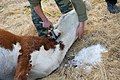 Animal on a farm in the Altai Mountains 01.jpg