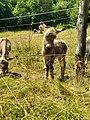Animali al interno del Parco del Monte Barro.jpg