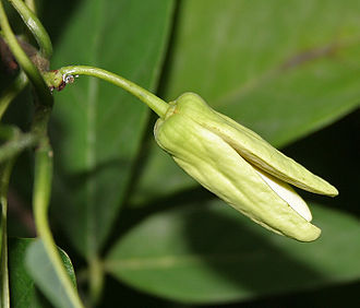 Annona squamosa - flower in Hyderabad, India.