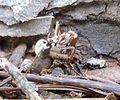 Anoplolepis custodiens, met prooi, d, Krugersdorp.jpg