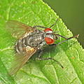 Another Tachinid on the mint! (10084040155).jpg