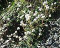 Antennaria dioica 17082004.JPG