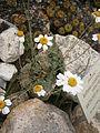Anthemis carpatica 001.JPG