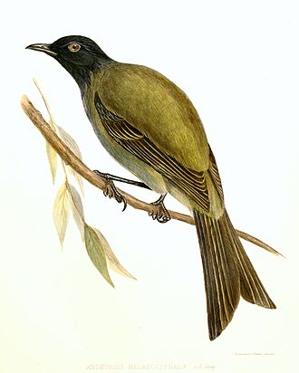 Chatham bellbird - Image: Anthornis.melanoceph alus