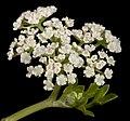 Apium prostratum - Flickr - Kevin Thiele.jpg